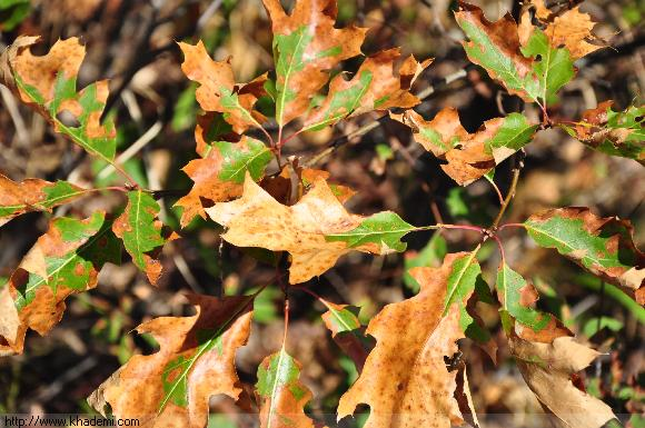 پاییز زودرس